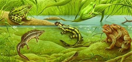 Anfibi animali for Pesci da disegnare per bambini