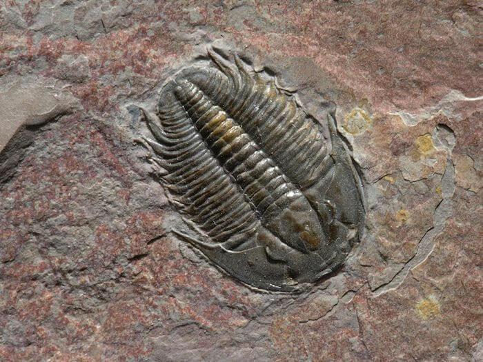 razze & specie ...  Fossile-di-trilobita