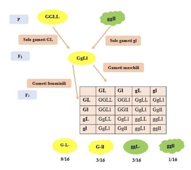 Terza legge di mendel pdf