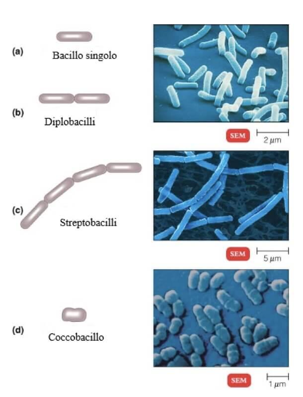 Bacilli - I diversi tipi di droga ...